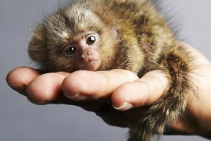 a99621_how-do-pygmy-marmosets-protect-themselves_6008a2e91efaa590