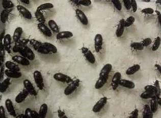 8 Manfaat Semut Jepang bagi Kesehatan Dan Cara penggunaan