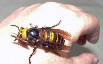 serangga-paling-mengerikan-di-dunia-05