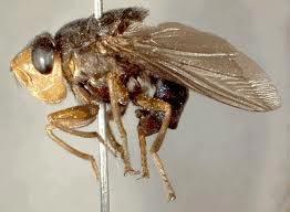 serangga-paling-mengerikan-di-dunia-08