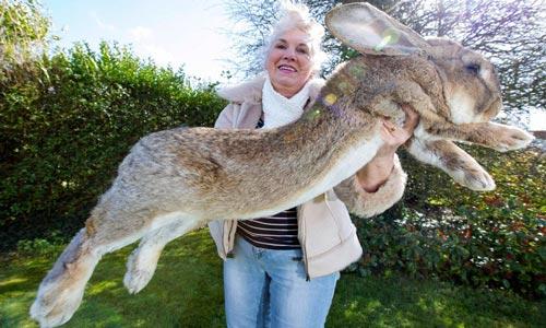 kelinci-raksasa