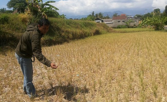 Kemarau Panjang, Puluhan Hektare Sawah di Buleleng Gagal Panen