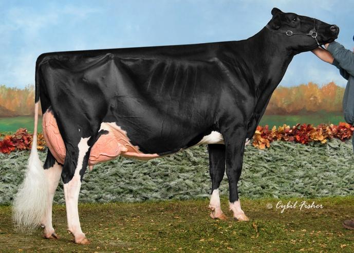Missy Si Sapi Holstein - 16 Miliar Rupiah