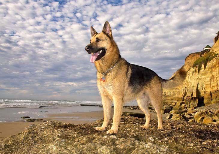 Daftar Jenis Anjing Ras Paling Cerdas dan Pintar