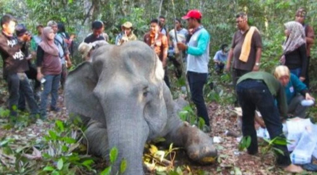 Kisah Gajah Dita Ditemukan Membusuk di Kubangan