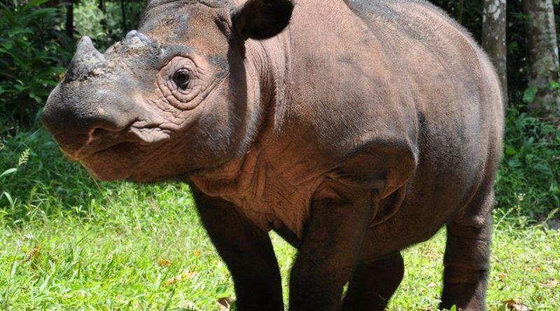 Badak Sumatera Punah di Malaysia