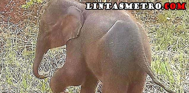 Gajah Rusak Rumah Warga di Pidie, Karung Padi Diambil