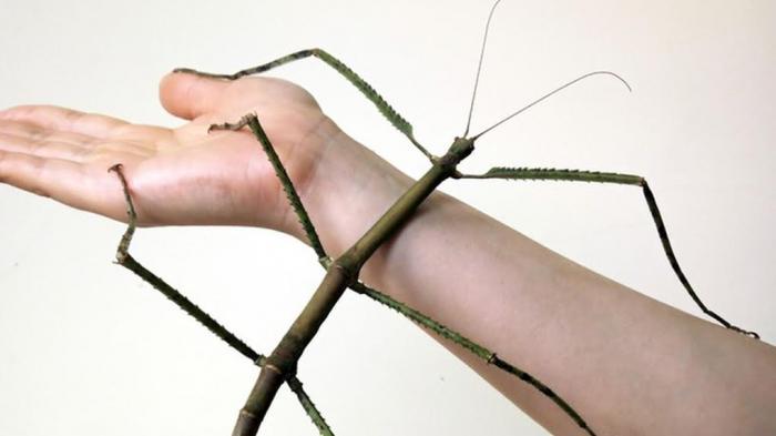 Serangga Batang / Tongkat