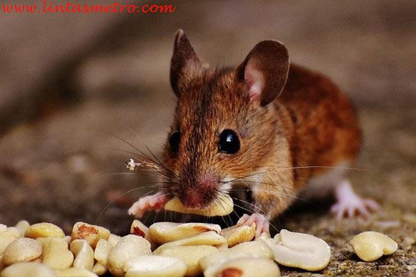 http://lintasmetro.com/cara-ampuh-untuk-mengusir-tikus-dengan-bahan-yang-ada-di-rumah/