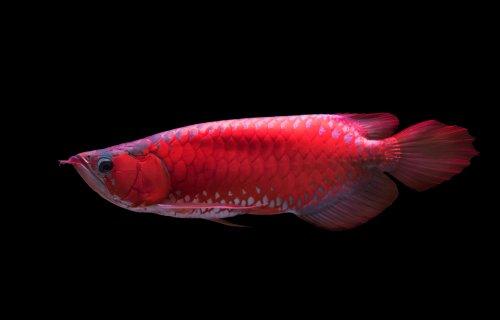 http://lintasmetro.com/jenis-ikan-ini-dipercaya-sebagai-ikan-pembawa-keberuntungan-dan-energi-positif/